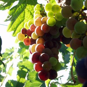 grapes1.jpg