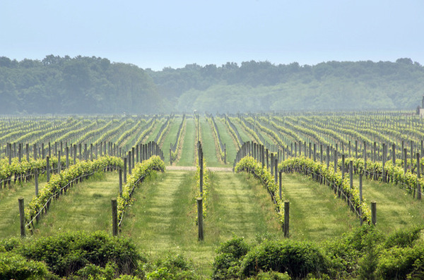 Macari_Vineyards_North_Fork_NY.jpg