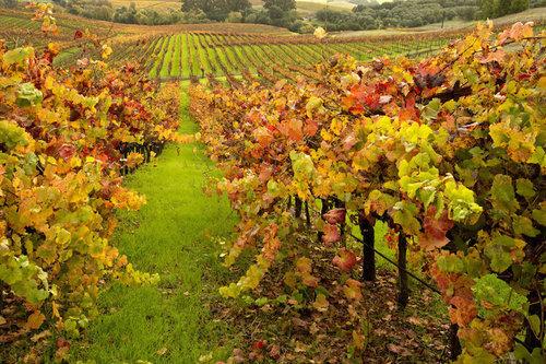 napa_valley-fall-vines-1.jpg