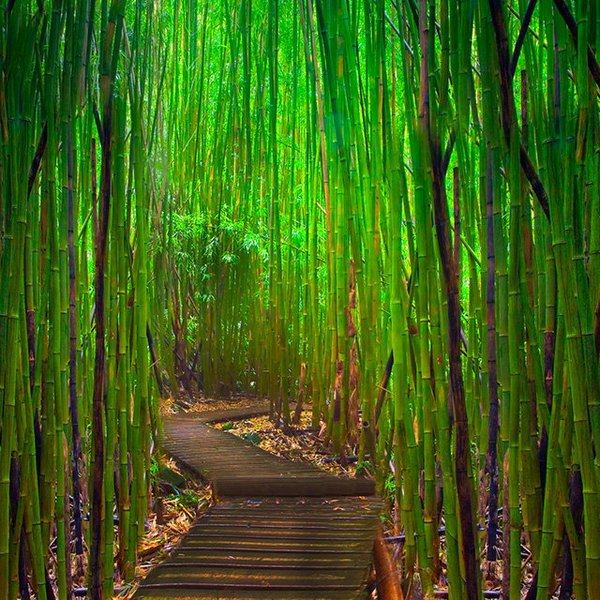 bamboo_forest_hawaii-1.jpg